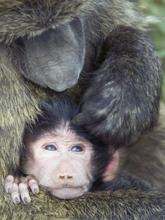 Olive Baboon and its Young Being Groomed, Papio Anubis, Lake Nakuru National Park, Kenya, Africa by Gerald & Buff Corsi