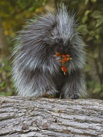 Porcupine (Erethizon Dorsatum) Eating Berries by Gerald & Buff Corsi