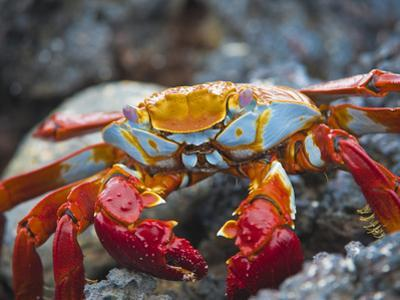 Sally Lightfoot Crab (Grapsus Grapsus), Playa Las Bachas, Santa Cruz Island, Galapagos Islands by Gerald & Buff Corsi