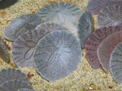 Sand Dollars in the Sandy Ocean Floor (Dendraster Excentricus), California, USA by Gerald & Buff Corsi