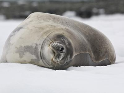 Weddell Seal Resting on Ice, Leptonychotes Weddellii, Antarctica by Gerald & Buff Corsi