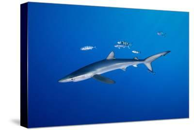 BLUE SHARK WITH PILOT FISHES by Gerard Soury