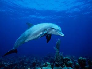 Bottlenose Dolphin, Underwater, Providenciales by Gerard Soury