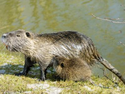 Coypu or Nutria, Female with Young Suckling, France by Gerard Soury