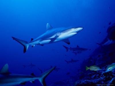 Dagsit Shark, Swimming, Polynesia by Gerard Soury