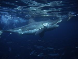 Great White Shark, Attacking Bait, South Australia by Gerard Soury