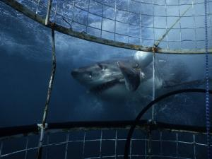 Great White Shark, Eating Bait, S. Africa by Gerard Soury
