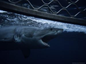 Great White Shark, Swimming by Cage, S. Australia by Gerard Soury