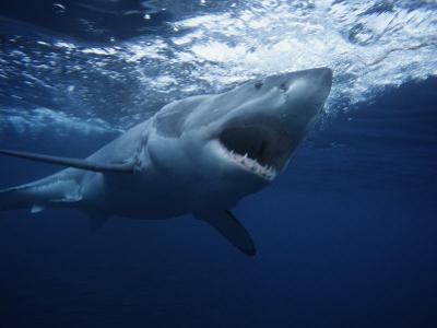 Great White Shark, Swimming, South Australia by Gerard Soury