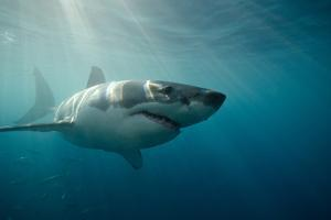 Great White Shark Swimming Underwater by Gerard Soury