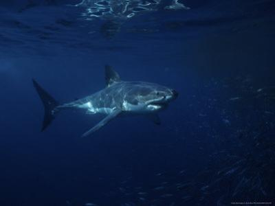 Great White Shark, Tagged, South Australia by Gerard Soury