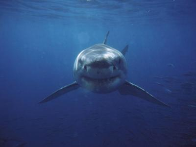 Great White Shark by Gerard Soury