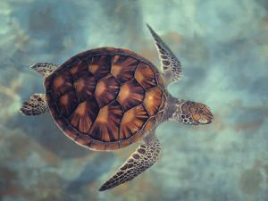 Green Turtle, Java, Indian Ocean by Gerard Soury