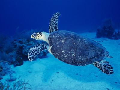 Hawksbill Turtle, Swimming Grand Caicos, Caribbean by Gerard Soury