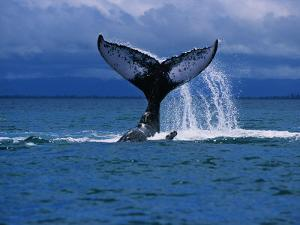 Humpback Whale, a Whale Tail Slapping, Sainte Marie Island, Indian Ocean by Gerard Soury