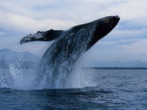 Humpback Whale, Breaching, Puerto Vallarta by Gerard Soury
