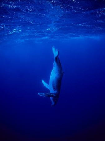 Humpback Whale, Juvenile, Polynesia by Gerard Soury