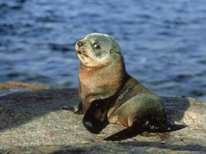 New Zealand Fur Seal, Arctocephalus Forsteri South Australia by Gerard Soury