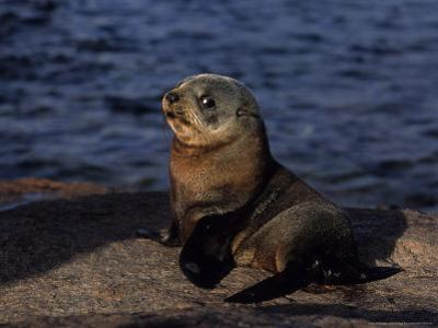 New Zealand Fur Seal, Young, South Australia by Gerard Soury