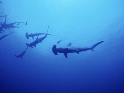 Scalloped Hammerhead Shark, Group, Red Sea by Gerard Soury