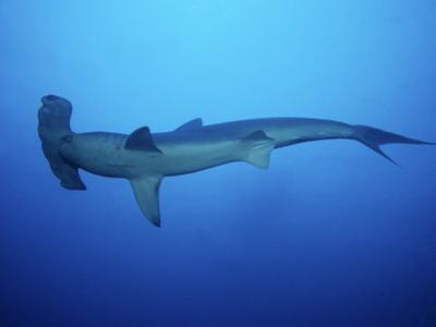 Scalloped Hammerhead Shark, Swimming, Costa Rica by Gerard Soury
