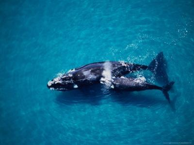 Southern Right Whale, Mother and Calf, Valdes Penins by Gerard Soury