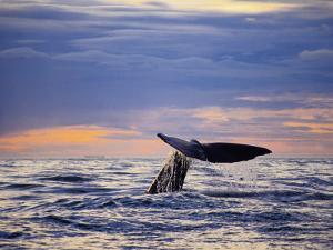 Sperm Whale, Raising Flukes, New Zealand by Gerard Soury