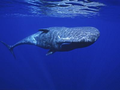 Sperm Whale, Under Surface, Azores, Portugal by Gerard Soury