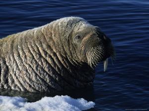 Walrus, Baffin Island, Canada by Gerard Soury