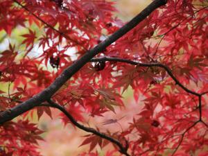 Maple Tree in Autumn Colours, Arishiyama District by Gerard Walker