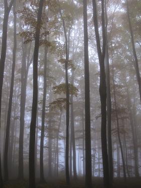 Austria, Lower Austria, Peilstein (Mountain), Autumn Forest, Fog by Gerhard Wild