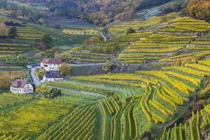 Autumnally Coloured Vine Branches in Spitz on the Danube, Wachau, Lower Austria, Austria, Europe by Gerhard Wild