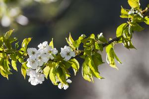 Cherry Blossom at the Foot of the Leitha Mountains Between Donnerskirchen and Purbach by Gerhard Wild