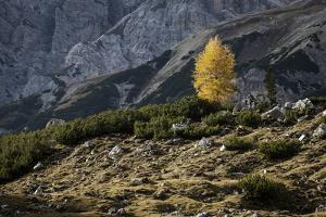 Europe, Italy, South Tyrol, the Dolomites, Autumnal Colored Larch by Gerhard Wild