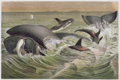 """Bowhead and Killer Whales, Plate from """"Brehms Tierleben: Allgemeine Kunde Des Tierreichs"""", Vol.3,…"""