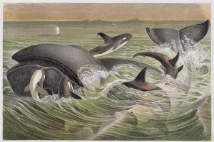 """Bowhead and Killer Whales, Plate from """"Brehms Tierleben: Allgemeine Kunde Des Tierreichs"""", Vol.3,… by German School"""