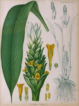 Curcuma Longa (Turmeric) from 'Kohler's Medicinal Plants' by Franz Eugen Kohler