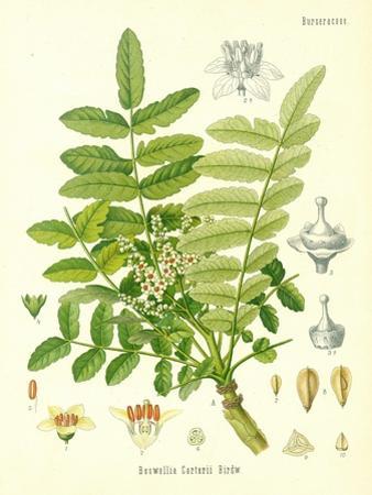 Frankincense, Illustration from 'Koehler's Medicinal Plants', Published in 1887
