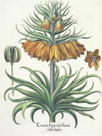 Fritillary: Corona Imperialis Florum Classe Duplici, from the 'Hortus Eystettensis' by Basil Besler