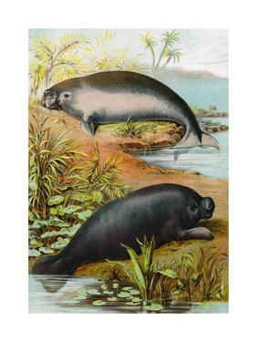 Manatee and Dugong, C.1880 by German School
