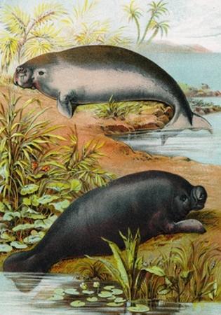 Manatee and Dugong, C.1880