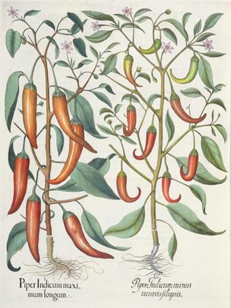 Peppers: 1.Piper Indicum Maximum Longum; 2.Piper Indicum Minus Recurvis Filiquis