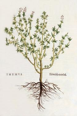 Thymus [Thyme], Illustration from 'De Historia Stirpium Commentarii Insignes' by Leonhard Fuchs,… by German School