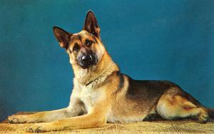 German Shepard, Retro