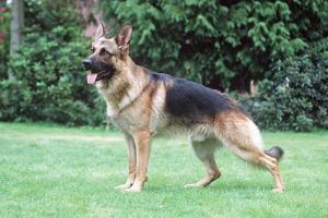 German Shepherd, Alsatian Dog