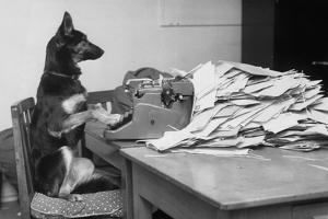 German Shepherd at a Typewriter
