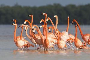 American Flamingos (Phoenicopterus Ruber) Perform Elaborate Marchlike Courtship Displays by Gerrit Vyn