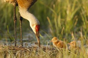 Sandhill Crane (Grus Canadensis) with Two Newly Hatched Chicks on a Nest in a Flooded Pasture by Gerrit Vyn