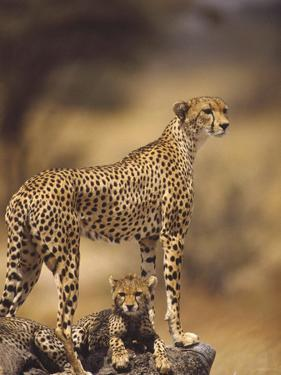Cheetah (Acinonyx Jubatus) Mother With, Adolescents, Samburu National Reserve, Kenya by Gerry Ellis