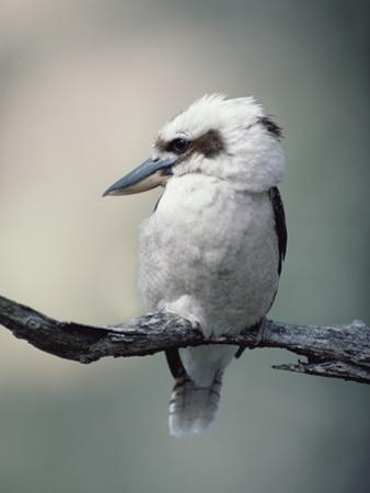Laughing Kookaburra (Dacelo Novaeguineae) Perching on Branch, Australia by Gerry Ellis